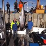 Record breaking tuna catch