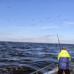 Bird activity over tuna shoal